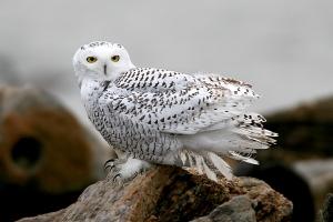 snowy_owl_bf2