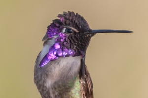 Costa's Hummingbird - Luke Tiller