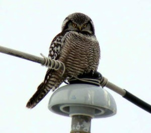 Northern Hawk Owl - Curt McDermott
