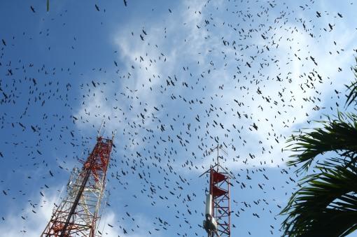 Panama Raptor Migration - Rafael Lau