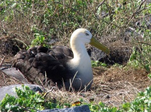 Waved Albatross - Luke Tiller