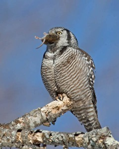 Northern Hawk Owl and Vole - AJ Hand