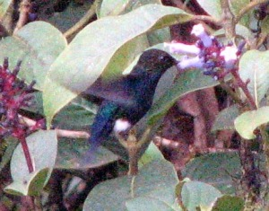 Black-breasted Puffleg - Luke Tiller
