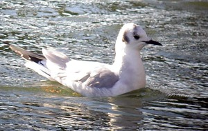 Bonaparte's Gull - Captains Cove