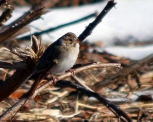 Clay-colored Sparrow - Michael Ferrari