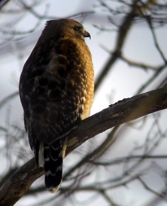 Red-shouldered Hawk - Luke Tiller
