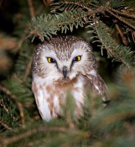 Saw-whet Owl - AJ Hand