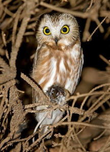 Northern Saw-whet Owl - AJ Hand