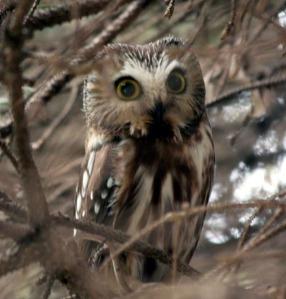 N. Saw-whet Owl - Michael Ferrari