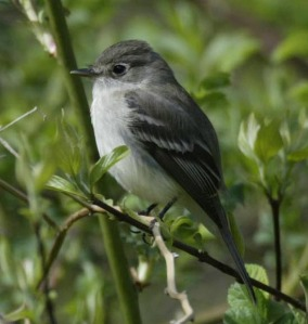 Least Flycatcher - Luke Tiller