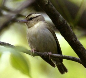 Worm-eating Warbler - Luke Tiller