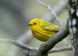 Yellow Warbler - Luke Tiller