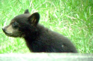 Black Bear Cub - Luke Tiller