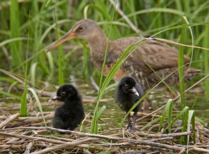 Clapper Rail Chicks - AJ Hand