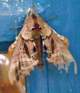 Unidentified Moth - Luke Tiller
