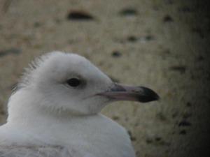 Mystery Gull - Juliet Balian