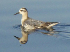 Red Phalarope - Bob Simon