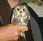 Saw-whet Owl - Luke Tiller