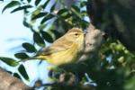 palm warbler yellow