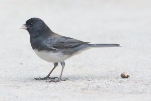 Cassiar Junco? - Luke Tiller
