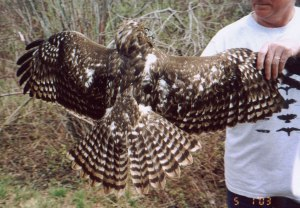 Dark Red-tailed Hawk - Braddock Bay Raptor Research