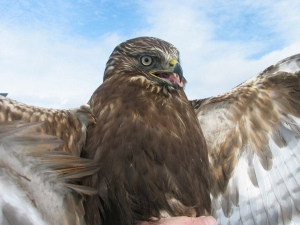 Dark Rough-legged Hawk - Braddock Bay Raptor Reasearch