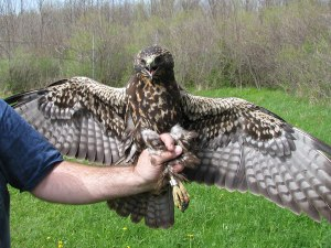 Dark Swainson's Hawk - Braddock Bay Raptor Research