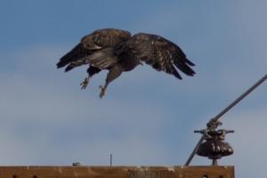 Red-tailed Hawk - Luke Tiller