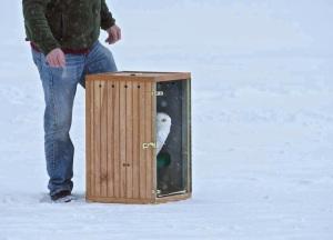 Snowy Owl release - Daena Ford