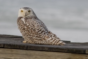 Snowy Owl - Catherine Hamilton