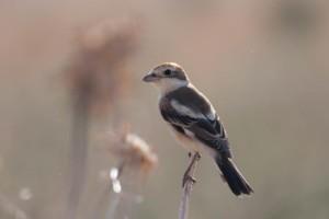 Woodchat Shrike - Luke Tiller