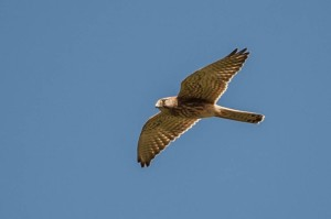 Common Kestrel - Luke Tiller