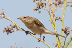 Willow Warbler - Luke Tiller