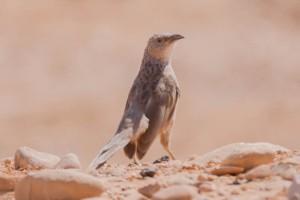 Arabian Babbler - Luke Tiller