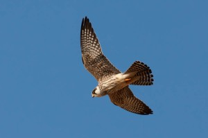Red-footed Falcon - Luke Tiller