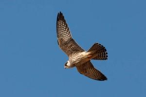 Red-footed Falcon - Luke Tiller