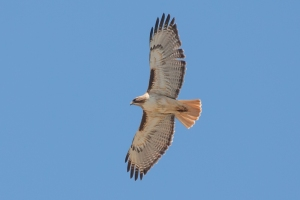Red-tailed Hawk - Luke Tiller